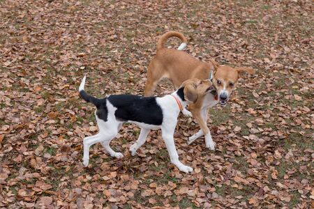 Multibred dog and estonian hound puppy are playing in the autumn park. Seasons of the year. Pet animals. Purebred dog.