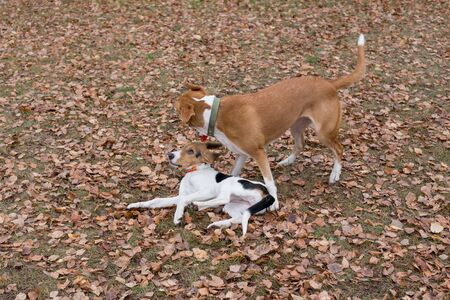 Cute estonian hound puppy and multibred dog are playing in the autumn park. Seasons of the year. Pet animals. Purebred dog. Stock Photo