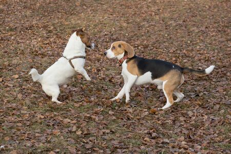 Jack russell terrier puppy and english beagle puppy are playing in the autumn park. Pet animals. Purebred dog.