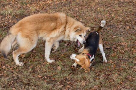 English beagle puppy and akita inu puppy are playing in the autumn park. Pet animals. Purebred dog. Stock Photo