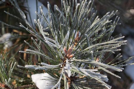 Green branch of the pine with young cones covered snow and hoarfrost. Close up. Seasons of the year. Stock fotó