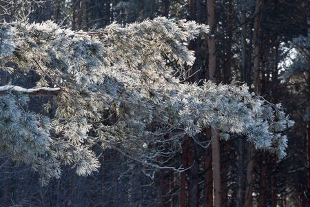 Green branches of the pine covered snow and hoarfrost. Seasons of the year. In fairy winter forest.