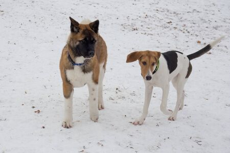 Cute american akita puppy and estonian hound puppy are playing in the winter park. Pet animals. Purebred dog.