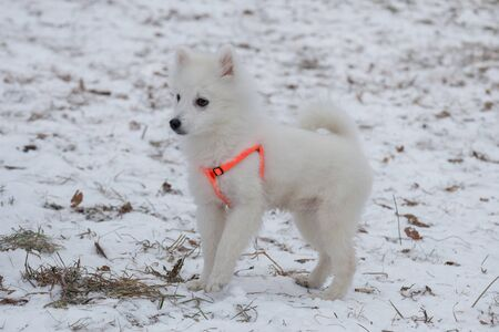 Cute japanese spitz puppy in orange dog collar is standing in the winter park. Pet animals. Purebred dog.