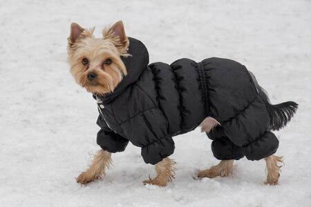 Cute yorkshire terrier puppy in black coat is walking in the winter park. Pet animals. Purebred dog. Stockfoto