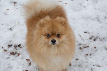 Cute pomeranian spitz puppy is looking at the camera. Deutscher spitz or zwergspitz. Pet animals. Stockfoto