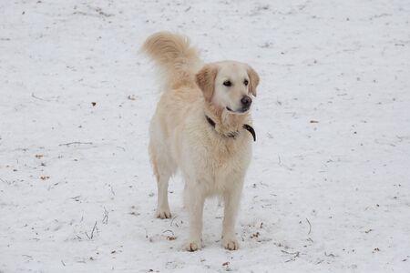 Labrador retrieveris standing in the winter park. Pet animals. Purebred dog.