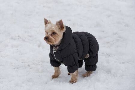 Cute yorkshire terrier puppy in black coat is standing in the winter park. Pet animals. Purebred dog.