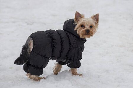 Cute yorkshire terrier puppy in black coat is looking at the camera. Pet animals. Purebred dog.
