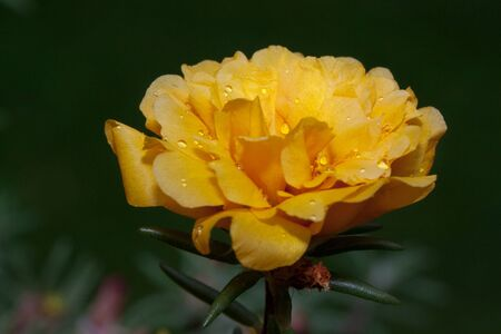 Beautiful yellow rose with drips of water. Live nature. Summer morning.