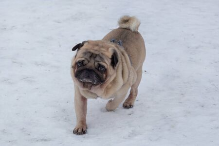 Cute chinese pug is running on a white snow in the winter park. Pet animals. Purebred dog.