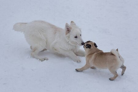 Cute chinese pug puppy and white swiss shepherd puppy are playing in the winter park. Pet animals. Purebred dog.