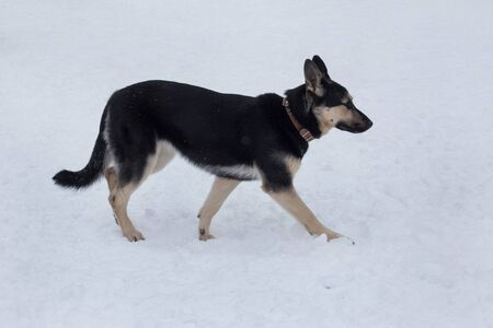 East european shepherd dog is walking on a white snow in the winter park. Pet animals. Purebred dog.