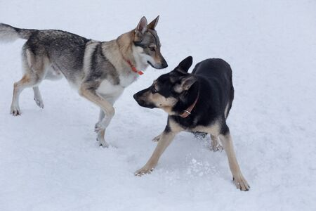 East european shepherd dog and czechoslovak wolfdog are playing on a white snow in the winter park. Pet animals.