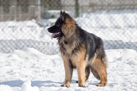 Cute german shepherd dog puppy is standing on a white snow in the winter park. Pet animals.
