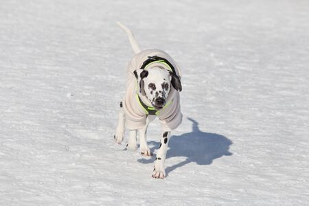 Cute dalmatian puppy is running in the winter park. Pet animals. Purebred dog. Banque d'images - 144176075