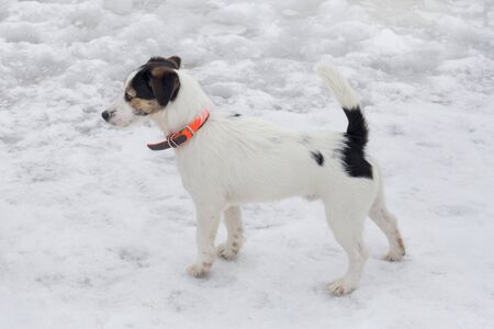 Cute jack russell terrier puppy in orange dog collar is standing in the winter park. Pet animals. Purebred dog.