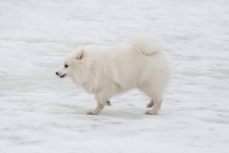 Cute japanese spitz puppy is running on a white snow in the winter park. Pet animals. Purebred dog.