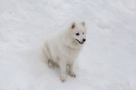 Cute japanese spitz puppy is sitting on a white snow in the winter park. Pet animals. Purebred dog.