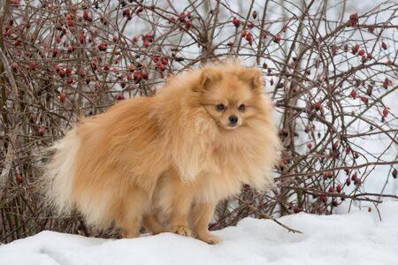 Cute deutscher spitz puppy is standing near the rosehip bush in the winter park. Pet animals.