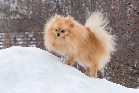 Cute deutscher spitz puppy is standing on a white snow in the winter park. Pet animals. Banque d'images