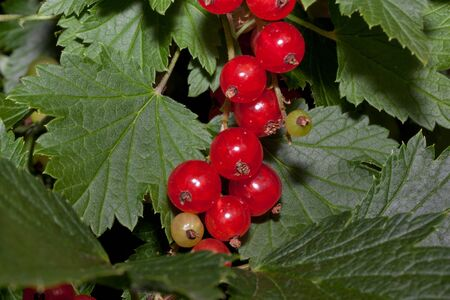Redcurrant berries are growing in the summer garden. Close up. Bunch of berries with fresh green leaves. Live nature. Stock fotó