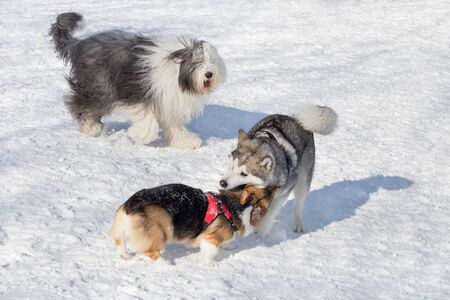 Bobtail sheepdog, pembroke welsh corgi puppy and siberian husky are playing in the winter park. Pet animals.