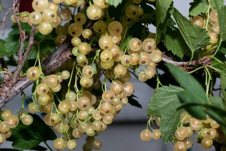 Yellow currant berries are growing in the green garden. Bunch of berries with fresh green leaves.