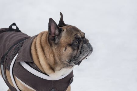 Cute french bulldog in beautiful pet clothing is standing in the winter park. Pet animals. Purebred dog. Archivio Fotografico