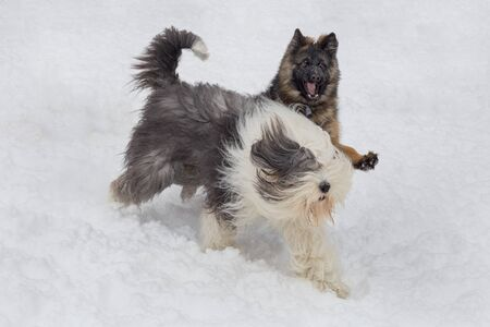 German shepherd dog puppy and bobtail sheepdog is playing on a white snow in the winter park. Pet animals.