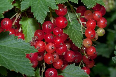 Redcurrant berries are growing in the summer garden. Close up. Bunch of berries with fresh green leaves. Banque d'images