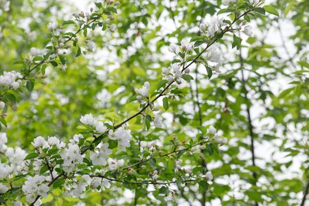 Blooming apple trees in the spring garden. Beautiful white flowers on apple tree. Blurred background.