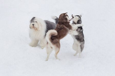 Two siberian husky puppies and bobtail sheepdog are playing in the winter park. Pet animals. Purebred dog.