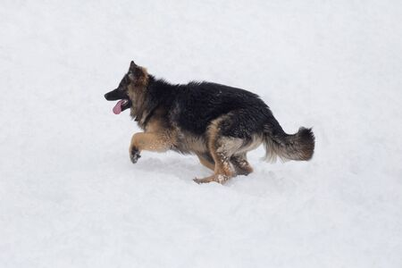 Long haired german shepherd dog puppy is running on a white snow in the winter park. Pet animals. Purebred dog.