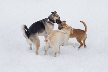 Labrador retriever, multibred dog and pit bull puppy are playing in the winter park. Pet animals. Purebred dog.