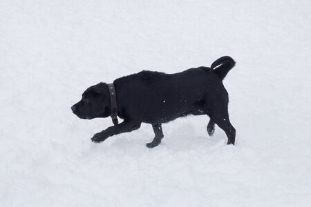 Black labrador retriever puppy is running on a white snow in the winter park. Pet animals. Purebred dog.