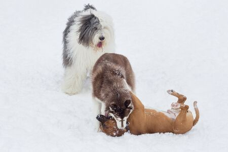 Siberian husky puppy, amstaff puppy and bobtail sheepdog are playing in the winter park. Pet animals. Purebred dog. Banque d'images