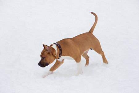 American staffordshire terrier puppy is running on a white snow in the winter park. Pet animals. Purebred dog. Banque d'images