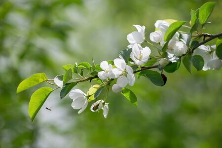 Blooming branch of apple tree in the spring garden. Fresh white flowers on apple tree. Beautiful blurred background.