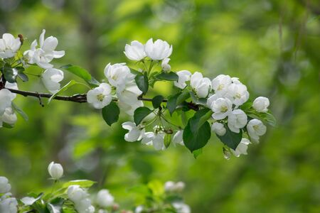 Blooming branch of apple tree in the spring garden. Beautiful white flowers on apple tree. Blurred background. Banque d'images