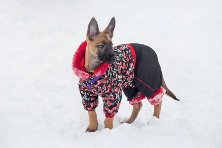 Belgian sheepdog puppy in beautiful pet clothing is standing in the winter park. Pet animals. Purebred dog. Banque d'images