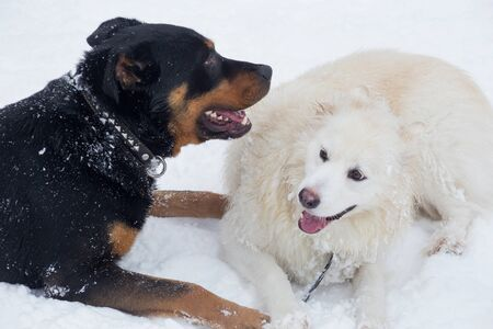 Rottweiler puppy and multibred dog are lying on a white snow in the winter park. Pet animals. Purebred dog.