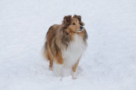 Long haired scotch collie is standing on a white snow in the winter park. Pet animals. Purebred dog.