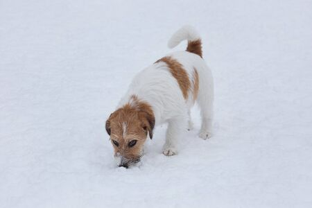 Jack russell terrier puppy sniffing tracks on a white snow. Pet animals. Purebred dog.