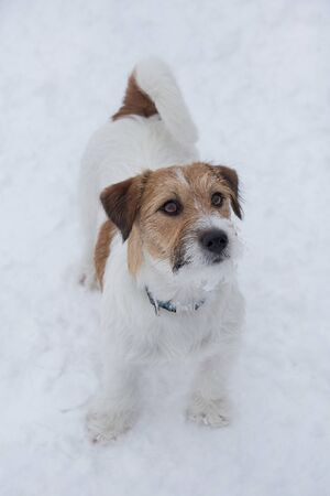 Jack russell terrier puppy is standing on a white snow in the winter park. Pet animals. Purebred dog.