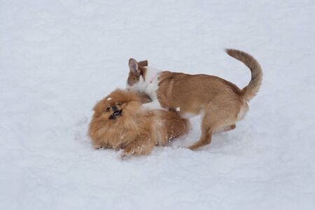 Cute pomeranian spitz puppy and multibred dog puppy are playing in the winter park. Pet animals.