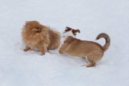 Pomeranian spitz puppy and multibred dog puppy are playing on a white snow in the winter park. Pet animals.