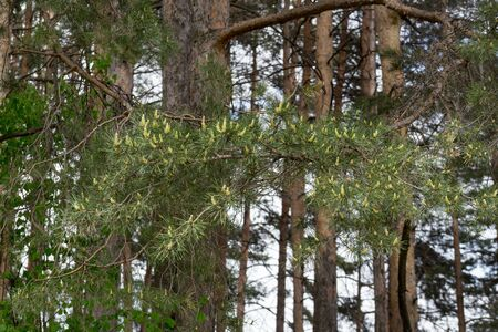 Young green sprigs of pine with big group of cones. In the spring forest. Seasons of the years.