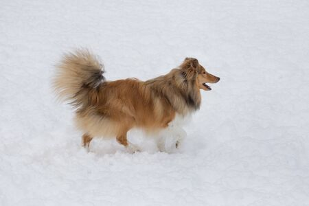 Cute scotch collie is running on a white snow in the winter park. Pet animals. Purebred dog. Banque d'images