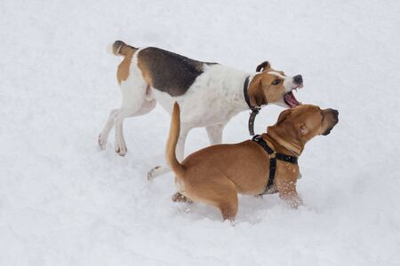 Russian hound and american staffordshire terrier puppy are playing in the winter park. Pet animals. Purebred dog.